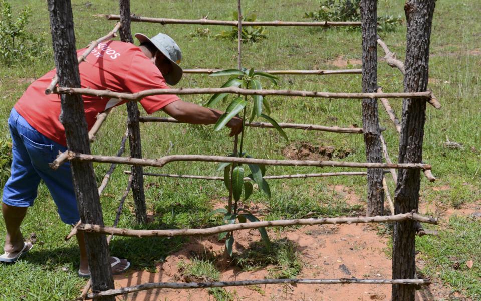 12_Mangobäume