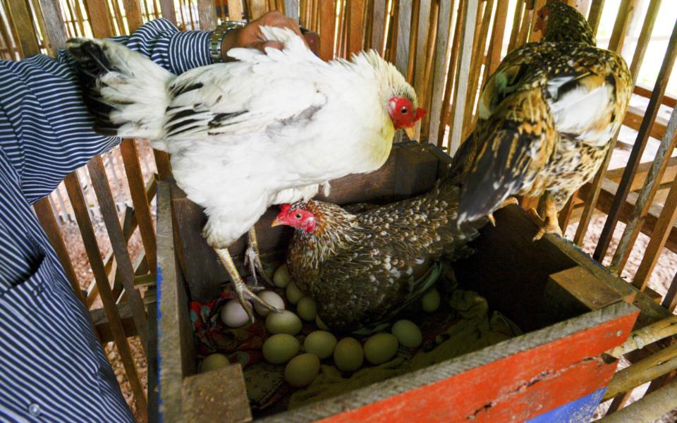 19_Hühner