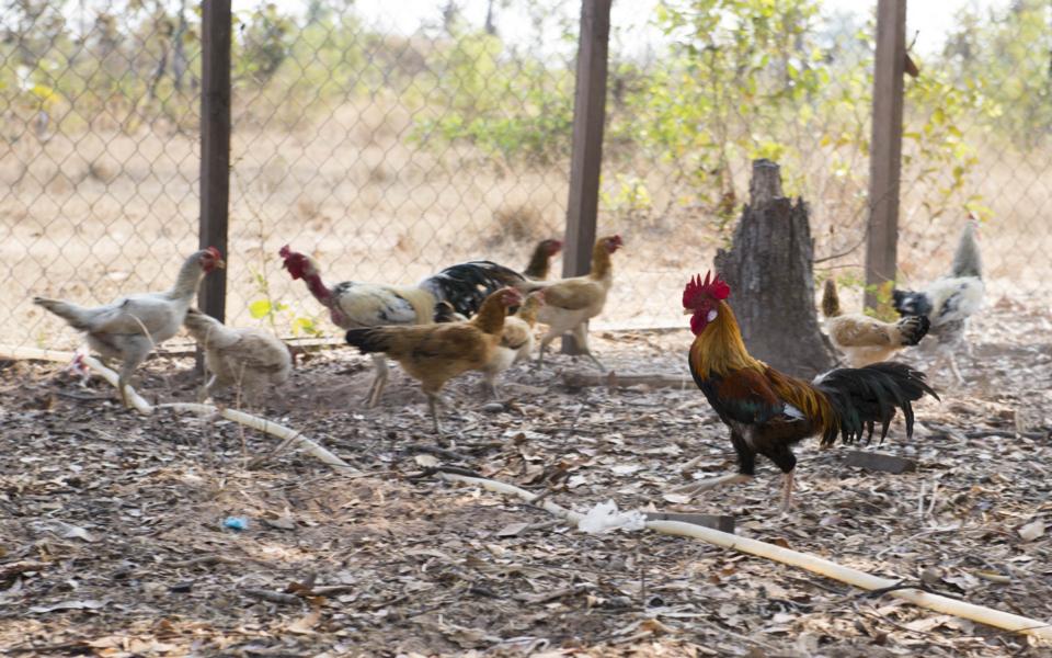 20_Hühner